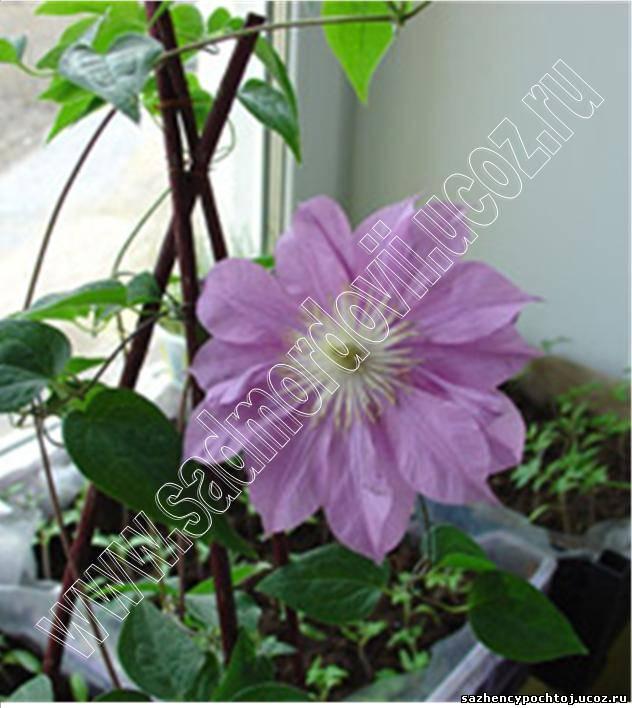 Клематисы от а до Я' 'выращивание клематисов на балконе' цве.